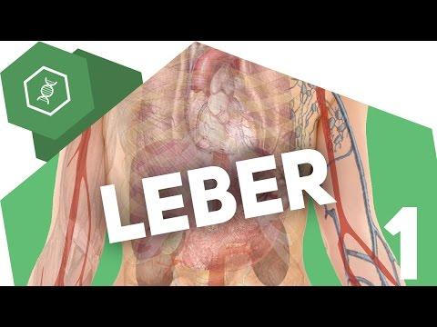 Die Leber - Aufbau - Organe des Menschen