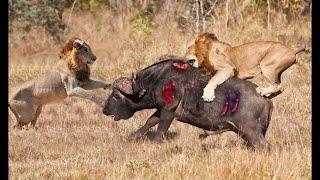 Потужна атака диких епічна битва диких собак проти тварин лев, буйвол, бородавочник, олень