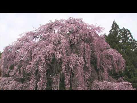 Du lịch Nhật Bản, ngắm hoa anh đào   Kanagawa Prefecture