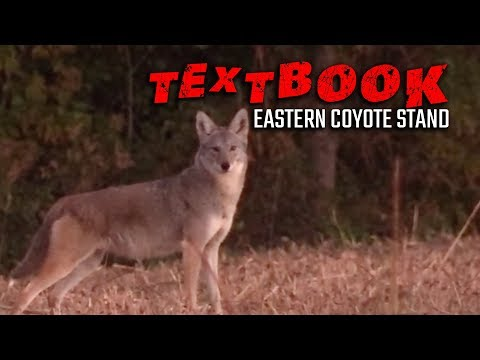 Textbook Eastern Coyote Stand - Coyote Hunting