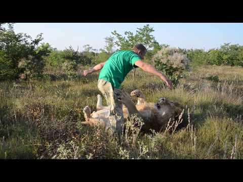 Русский заяц и африканские львы !