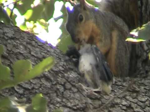 Squirrel eating a baby Blue Jay - YouTube