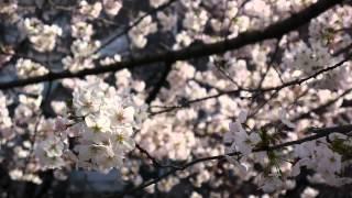 2014年神田川の桜。