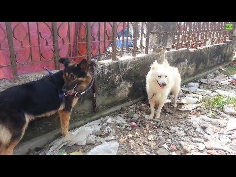 Cross German Shepherd & a Big Pomeranian - Tongi Bird Market