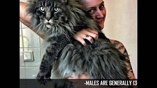 Top 10 biggest house cat breeds