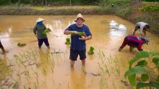 Planting Rice (Kahw- pronounced Cow) in Thailand