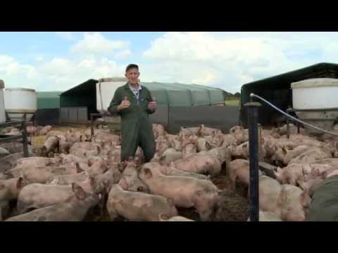 Yorkshire Pigs, born and bred