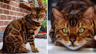 Meet Thor, The World's Most Gorgeous Bengal Cat With Spots And Stripes