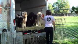 Standard Poodles At Prh