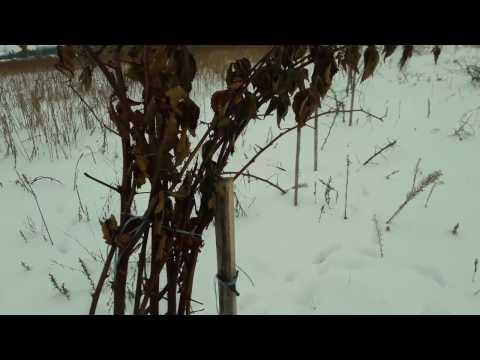 Ежевика зимой. 12 февраля - экстрим тест на выживание