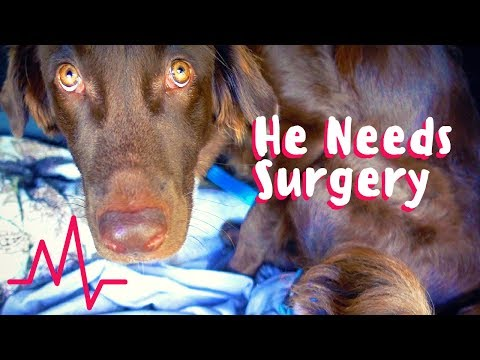 Puppy Needs Surgery + Worried How I Will Pay For This?!