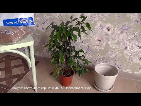 Покупка цветочного горшка в ИКЕА. Пересадка фикуса Бенджамина