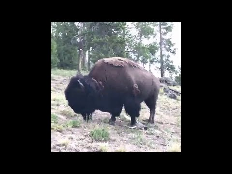 The Jim Colbert Show - O.M.G.!!!!!!!!! Girl tossed in air after bison charges Yellowstone tourists