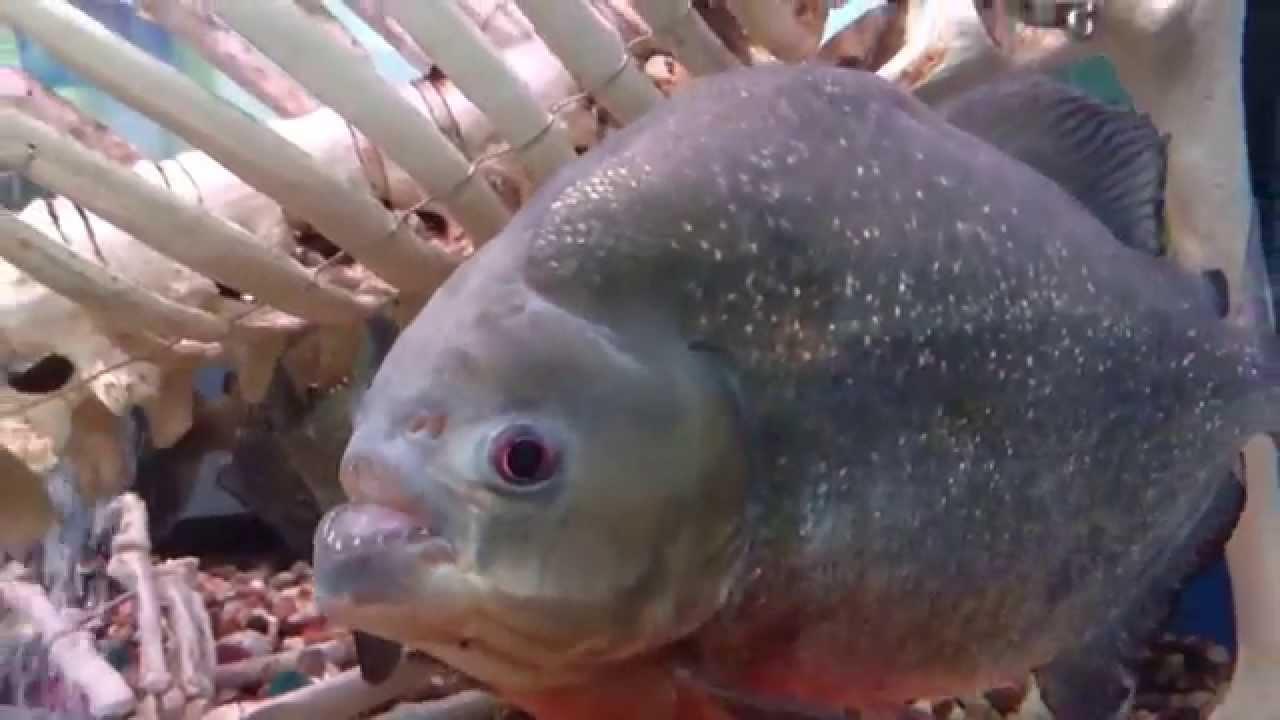 Гигантские рыбы видео
