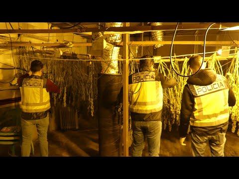 Intervienen 100 kilos de marihuana cultivada en una nave del polígono de Alcantarilla