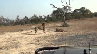 Lion Fight at Mala Mala