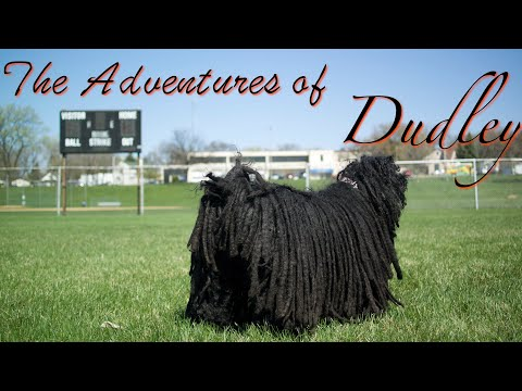 Hungarian Puli • The Adventures of Dudley