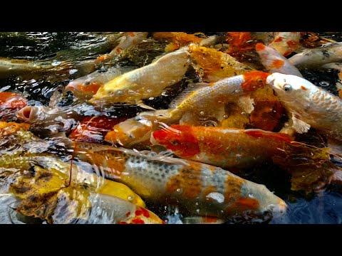 Koi fish relax meditation video 1