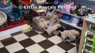 Little Rascals Uk Breeders New Litter Of Cockapoos