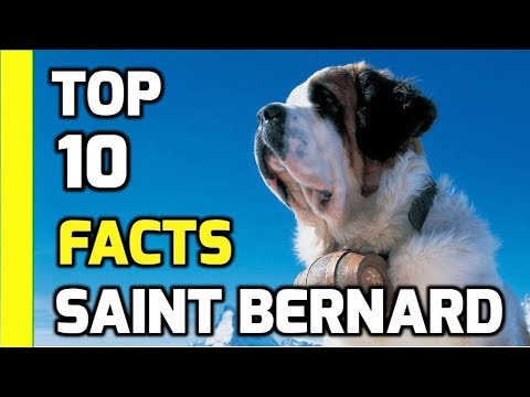 Top 10 facts about Saint Bernards - Part 1 (Saint Bernard Dog Breeds Information)