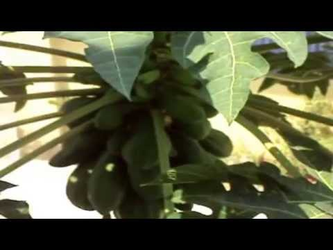 Ответы@: Плод дынного дерева???