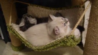 Сибирские и Невские маскарадные котята