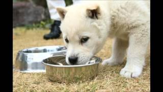 紀州犬の赤ちゃん くま~ず8週め.
