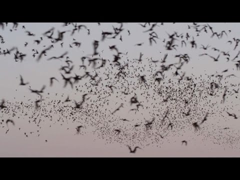 A Postcard from the Field: The Bats of Austin | Dateline NBC
