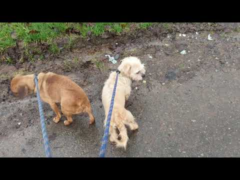 Nesta & Mable's first walk (2020.01.17)
