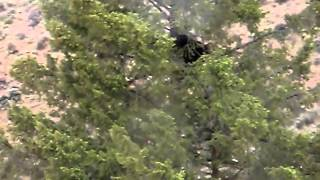Black Bear Encounter While Weed Grazing With Goats And Livestock Guardian Dogs