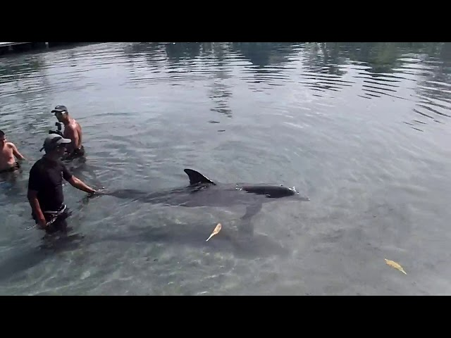 Dolphin tricks in Mo'orea - Tahiti - French Polynesia