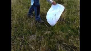 catching grasshoppers with a sweeping net
