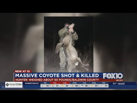 Alabama Hunter Kills Possible Mutant Coyote Weighing Around 60 Pounds