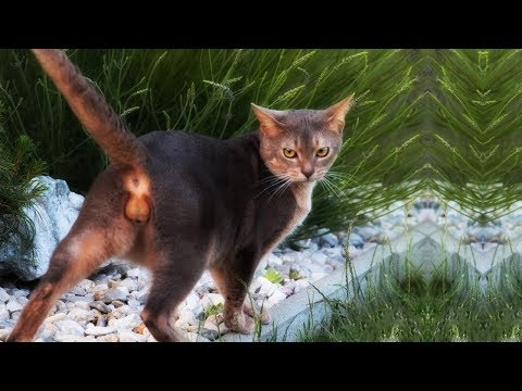 BEST OF ABYSSINIAN CAT | The domestic short-haired cat breed