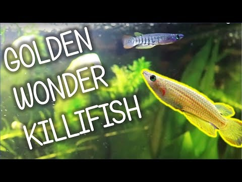 Golden Wonder Killifish | Basic Care