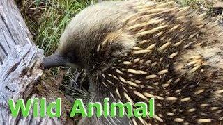 クイズ☆この野生動物はなんでしょう?【Can you guess what this wild animal is?】 thumbnail