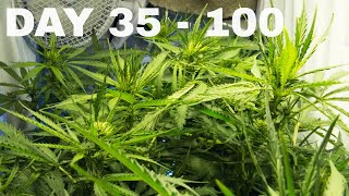 Cannabis growing time-lapse of Bloom