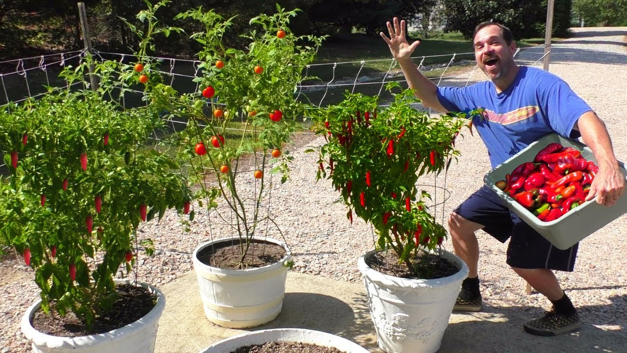growing a container garden at home how to harvest fall season vegetable gardening patio