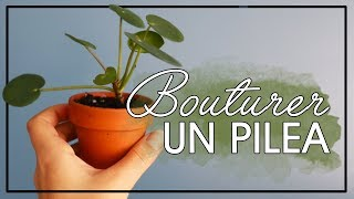 Comment bouturer un Pilea ?