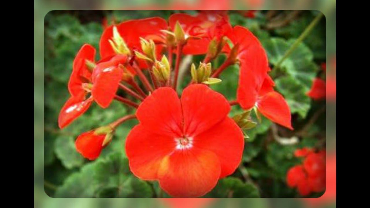 Лечебные, полезные свойства герани в народной медицине