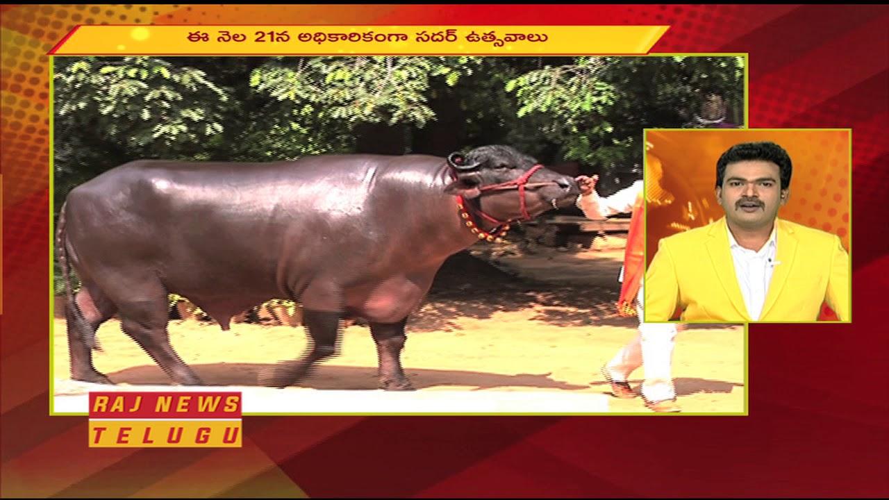 Costliest buffalo Shahenshah For Sadar Celebration in Hyderabad | Raj News  Telugu