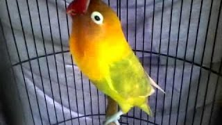 Video Love bird ngekek kasar !!!Pemancing love bird agar rajin ngekek download MP3, 3GP, MP4, WEBM, AVI, FLV Agustus 2018