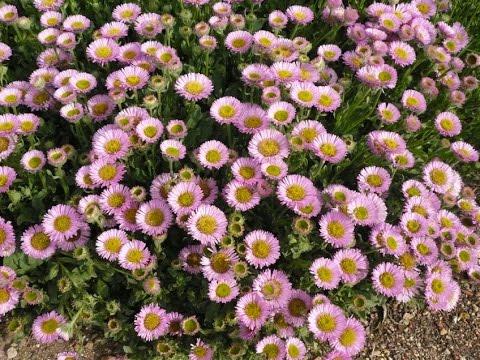 Perennial flowers full sun australia flowers ideas youtube perennial flowers full sun australia flowers ideas mightylinksfo