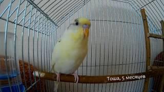 Пение волнистого попугая Тоши в 5 месяцев \\\ The young singing parrot