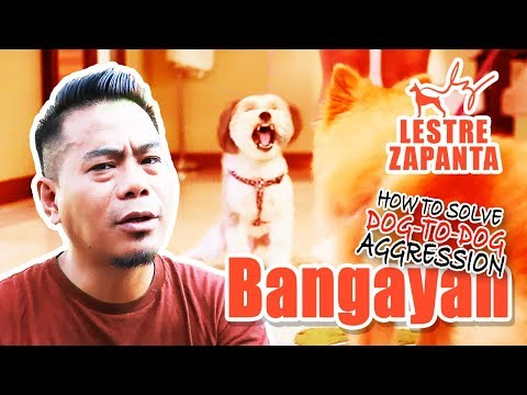 WOOFCAM l BANGAYAN: How to solve dog-to-dog aggression l Lestre Zapanta