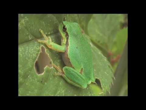 Common Tree Frog Hyla arborea