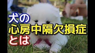 【愛犬のための知識】犬の心房中隔欠損症とは【犬を知る】