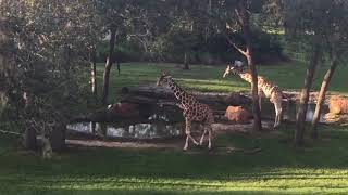 Animals from Savannah View at Animal Kingdom Lodge