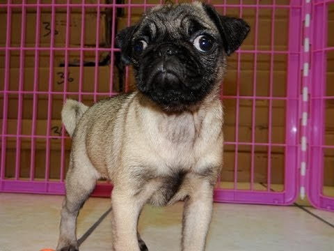 Pug, Puppies, Dogs, For Sale, In Colorado Springs ...