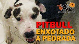 PITBULL ENXOTADO COM PEDRA E PAU SEM SABER PARA ONDE IR TENTOU FUGIR, POR QUE PARECIA AGRESSIVO